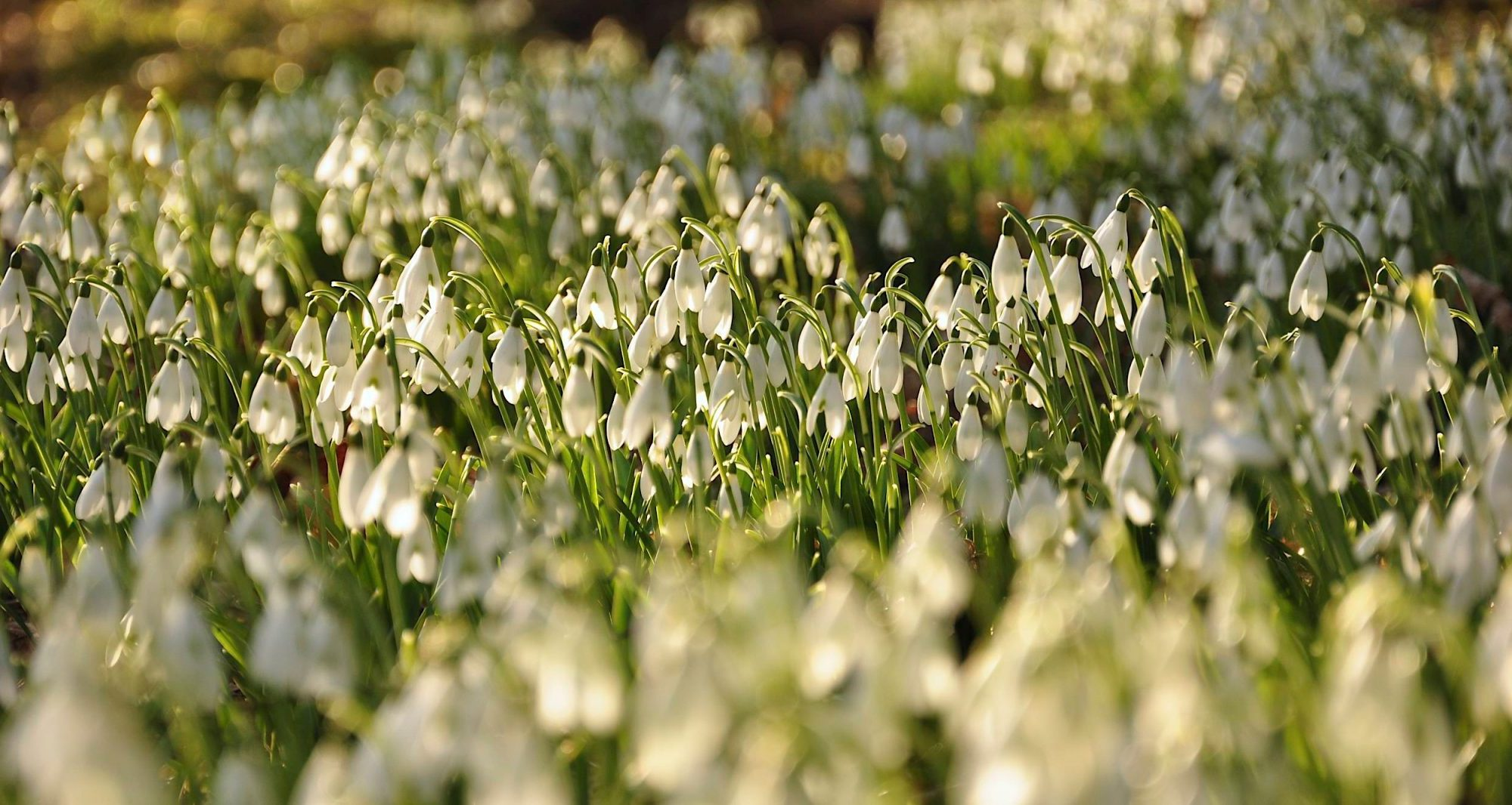 Snowdrops valentine life audit Neil Cox Hypnotherapy