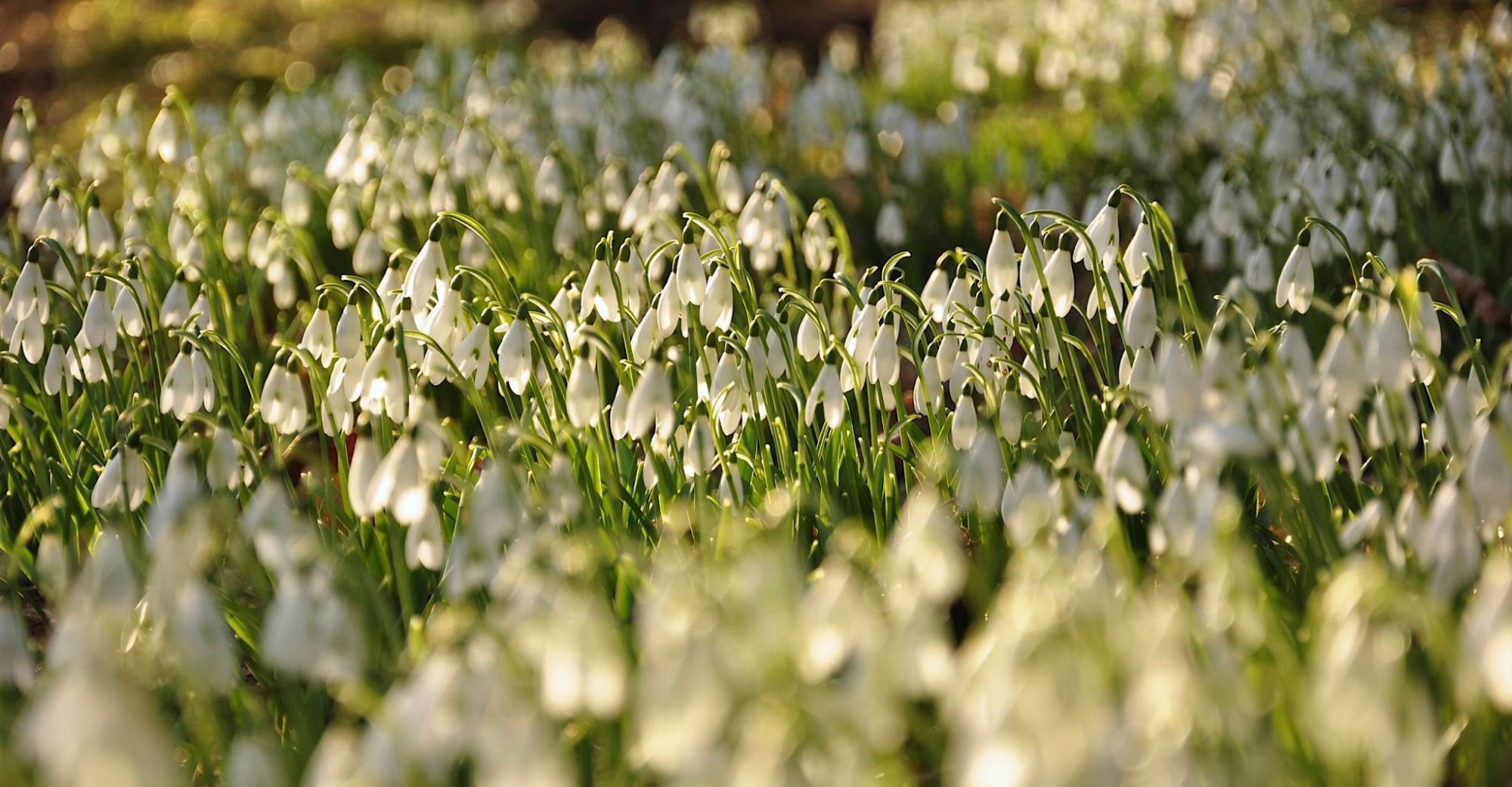 Snowdrops in February valentines day