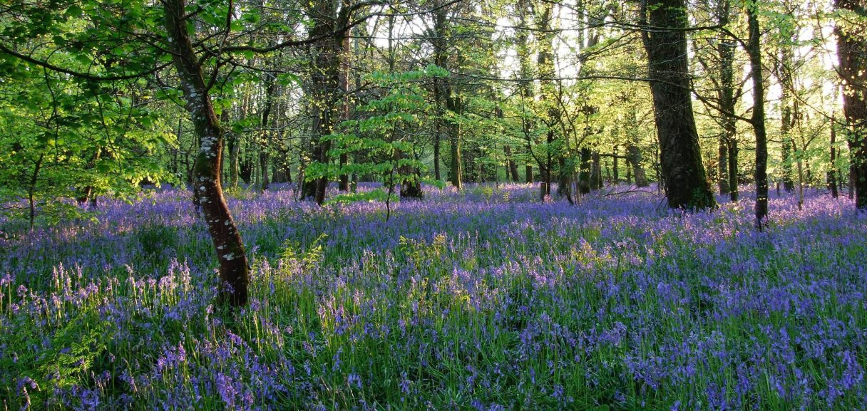 Bluebells obsessive thinking Neil Cox Hypnotherapy Cornwall